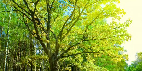 Šumski med dobiva se iz medne rose, a ne iz cvjetnog nektara